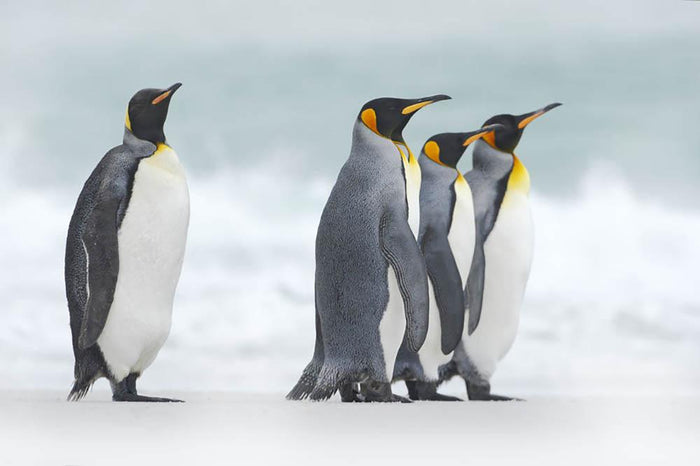 Group of four King penguins Wall Mural Wallpaper