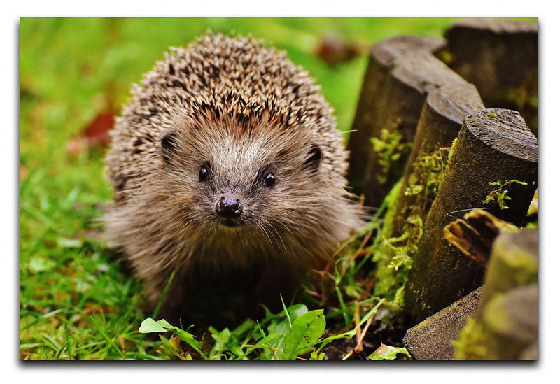 Hedgehog Print - Canvas Art Rocks - 2