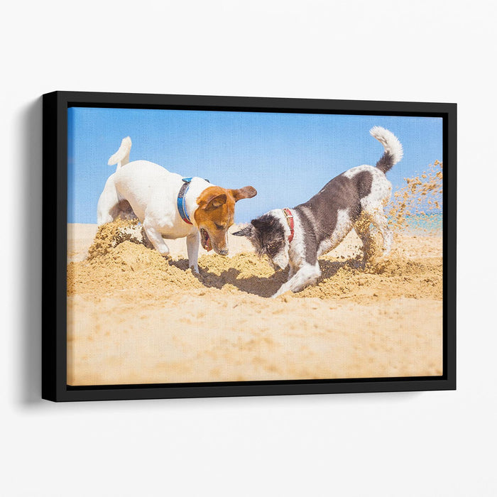 Jack russell couple of dogs digging a hole Floating Framed Canvas