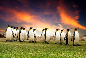 King Penguins in the Falkland Islands Wall Mural Wallpaper - Canvas Art Rocks - 1