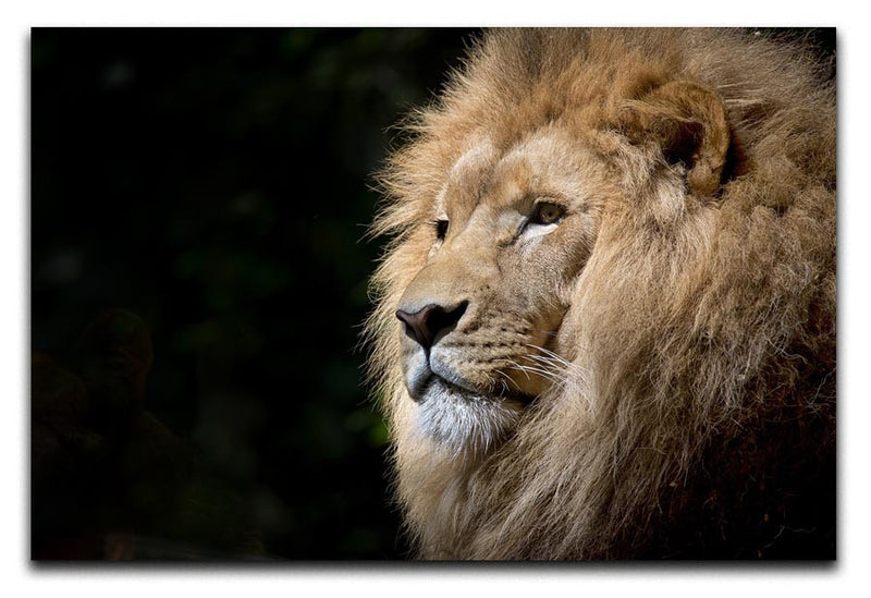 Lion Up Close Print - Canvas Art Rocks - 1