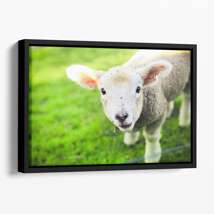 Mary had a little lamb Floating Framed Canvas