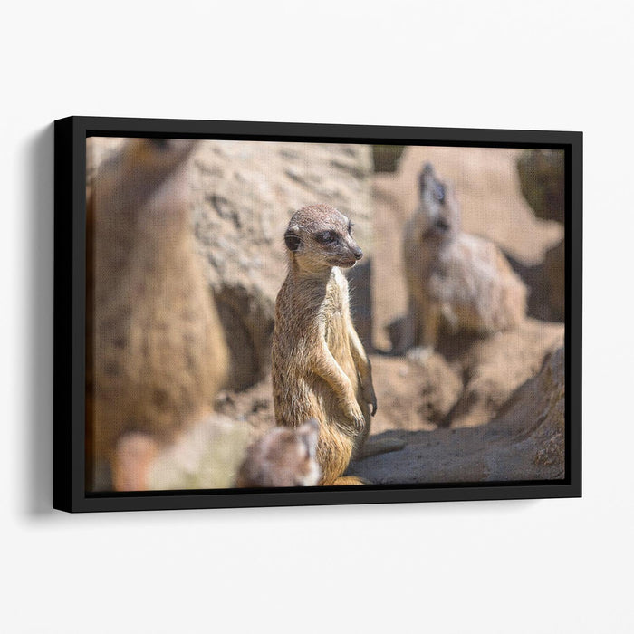 Meerkats in the wild Floating Framed Canvas