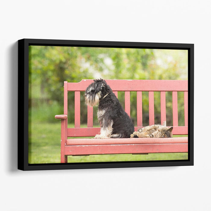 Miniature schnauzer turned back to its cat friend Floating Framed Canvas