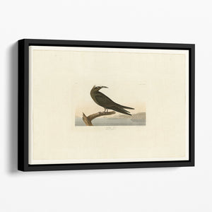 Noddy Tern by Audubon Floating Framed Canvas
