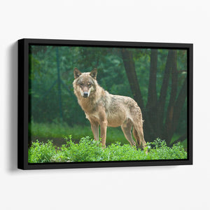 One wolf standing on green hill Floating Framed Canvas - Canvas Art Rocks - 1