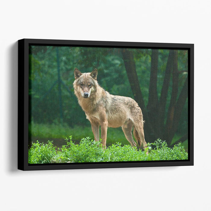One wolf standing on green hill Floating Framed Canvas