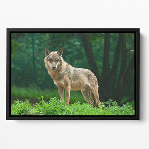 One wolf standing on green hill Floating Framed Canvas - Canvas Art Rocks - 2