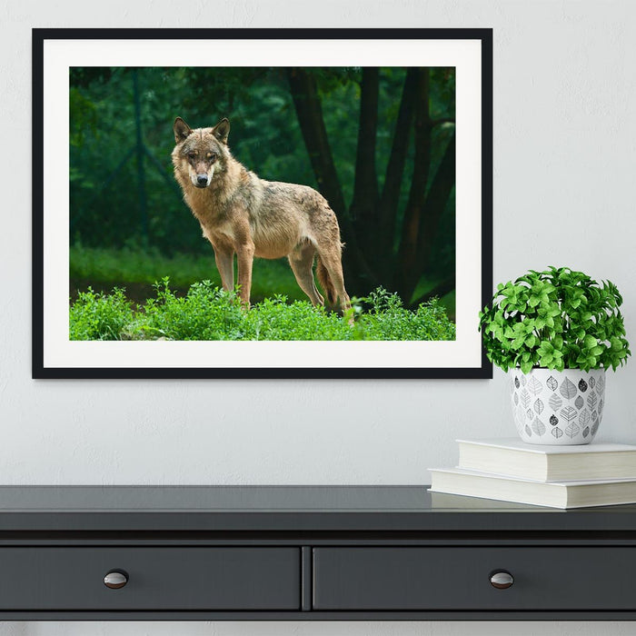 One wolf standing on green hill Framed Print