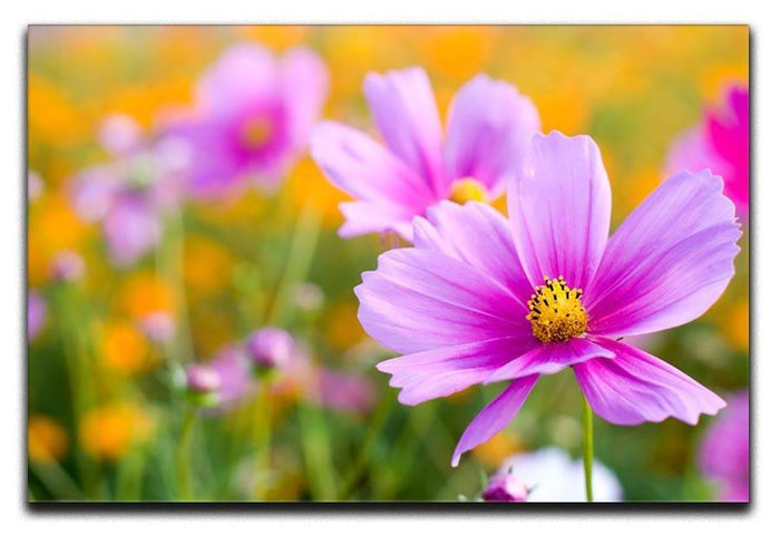 Pink cosmos in the flower fields Canvas Print or Poster
