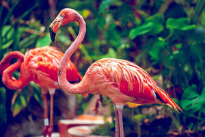 Pink flamingo close-up in Singapore zoo Wall Mural Wallpaper - Canvas Art Rocks - 1