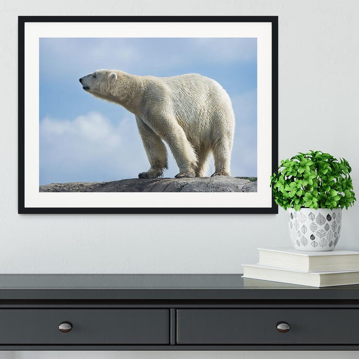 Polar bear walking on rocks Framed Print
