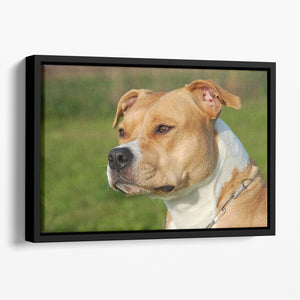 Portrait of a beautiful female purebred American Staffordshire Terrier Floating Framed Canvas - Canvas Art Rocks - 1