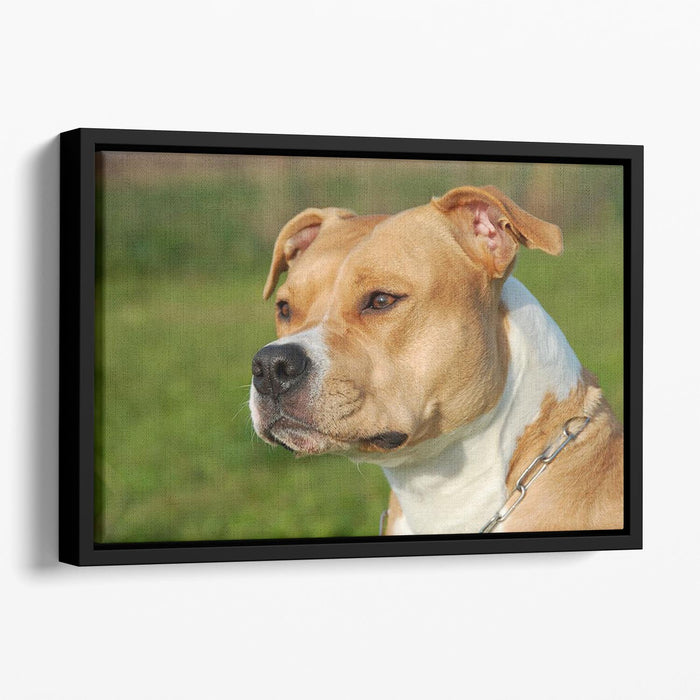 Portrait of a beautiful female purebred American Staffordshire Terrier Floating Framed Canvas