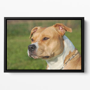 Portrait of a beautiful female purebred American Staffordshire Terrier Floating Framed Canvas - Canvas Art Rocks - 2