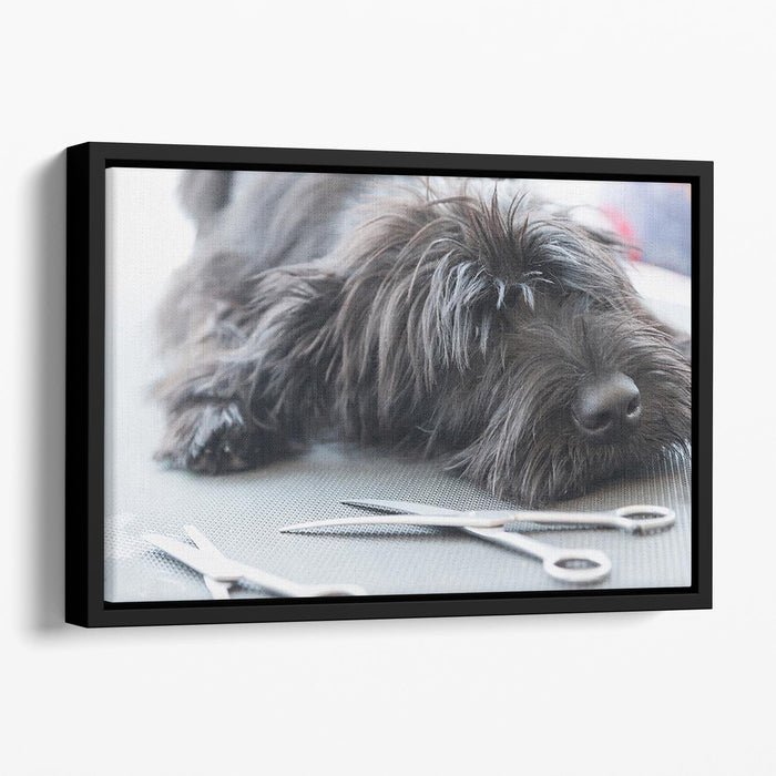 Portrait of a cute Schnauzer lying on the grooming table Floating Framed Canvas