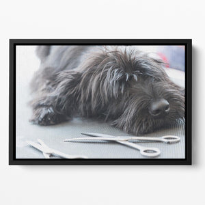 Portrait of a cute Schnauzer lying on the grooming table Floating Framed Canvas - Canvas Art Rocks - 2