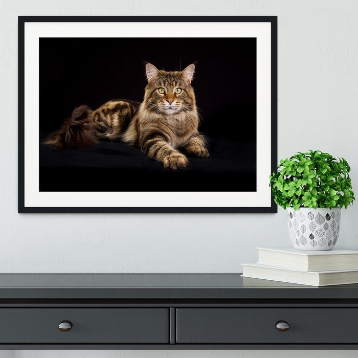 Purebred Maine Coon cat Framed Print