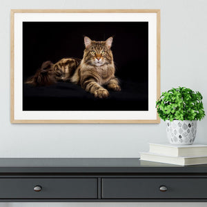 Purebred Maine Coon cat Framed Print - Canvas Art Rocks - 3