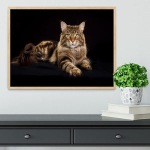 Purebred Maine Coon cat Framed Print - Canvas Art Rocks - 4
