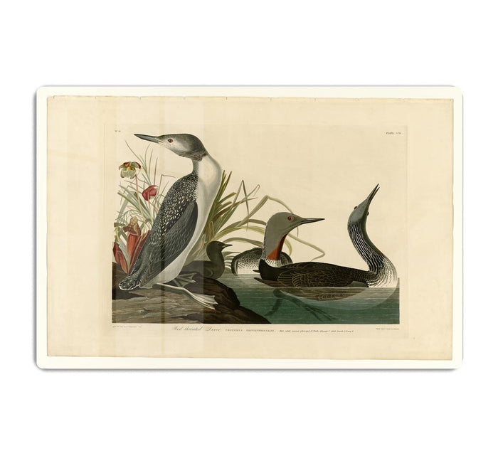 Red Throated Diver by Audubon HD Metal Print