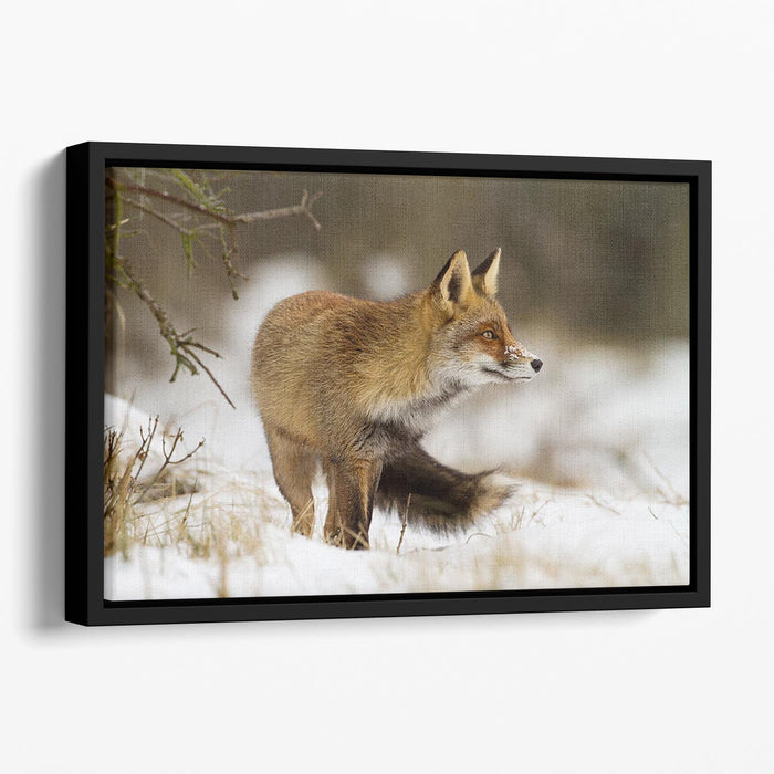 Red fox in wintertime Floating Framed Canvas