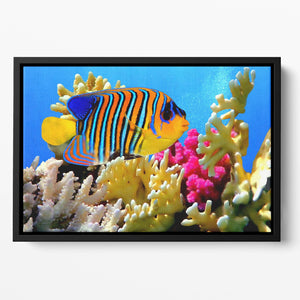 Regal angelfish Floating Framed Canvas