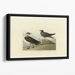 Richardsons Jager by Audubon Floating Framed Canvas