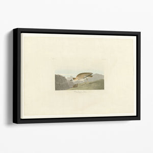Rocky Mountain Plover by Audubon Floating Framed Canvas