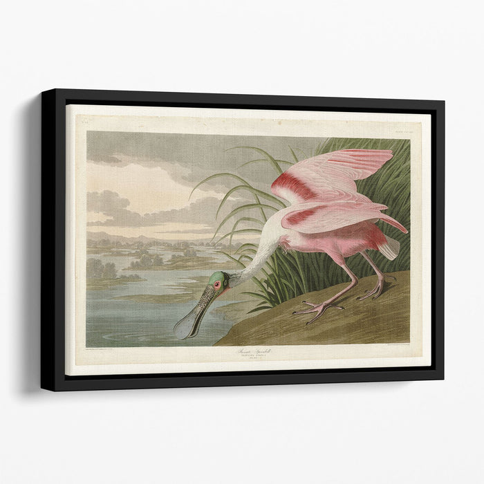 Roseate Spoonbill by Audubon Floating Framed Canvas