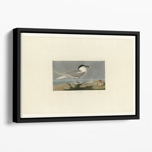 Sandwich Tern by Audubon Floating Framed Canvas