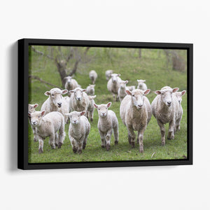 Sheep and lambs in paddock Floating Framed Canvas - Canvas Art Rocks - 1