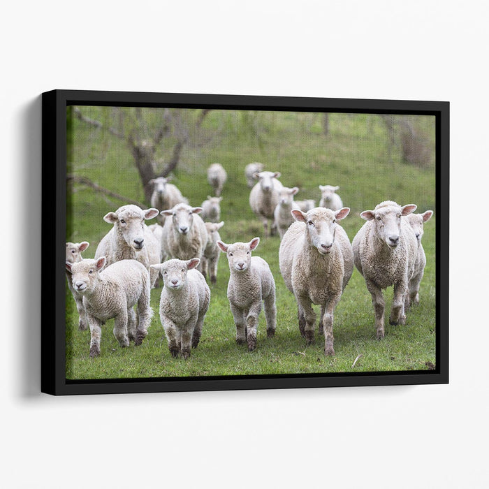 Sheep and lambs in paddock Floating Framed Canvas
