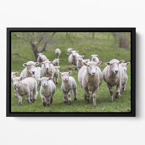 Sheep and lambs in paddock Floating Framed Canvas - Canvas Art Rocks - 2