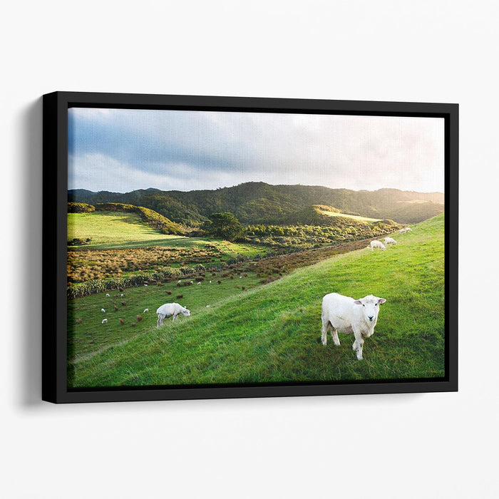 Sheep in farm in New Zealand Floating Framed Canvas