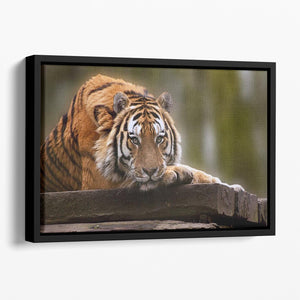 Stunning tiger relaxing Floating Framed Canvas - Canvas Art Rocks - 1