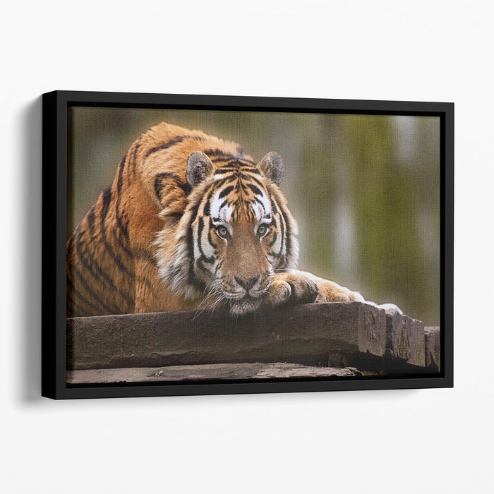Stunning tiger relaxing Floating Framed Canvas