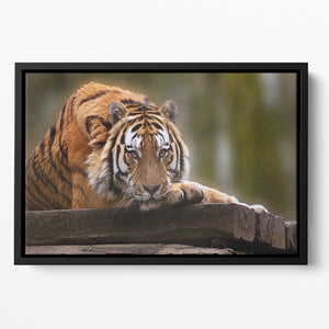 Stunning tiger relaxing Floating Framed Canvas - Canvas Art Rocks - 2