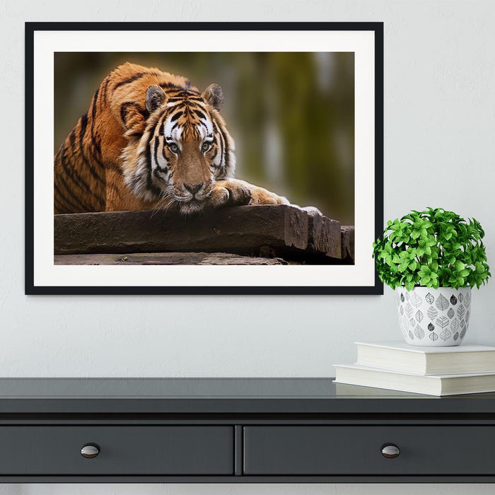 Stunning tiger relaxing Framed Print