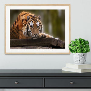 Stunning tiger relaxing Framed Print - Canvas Art Rocks - 3