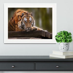 Stunning tiger relaxing Framed Print - Canvas Art Rocks - 5