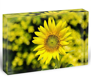 Sunflowers bloom in summer Acrylic Block - Canvas Art Rocks - 1