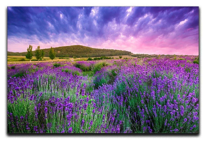 Sunset over a summer lavender field Canvas Print or Poster