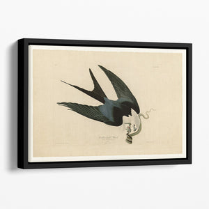 Swallow tailed Hawk by Audubon Floating Framed Canvas