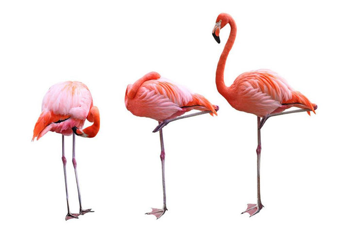 Three flamingo birds isolated on white background Wall Mural Wallpaper