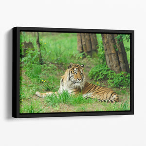 Tiger on the green grass Floating Framed Canvas - Canvas Art Rocks - 1