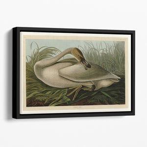 Trumpeter_Swan by Audubon Floating Framed Canvas