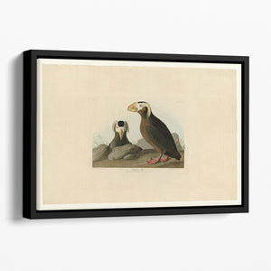 Tufted Auk by Audubon Floating Framed Canvas