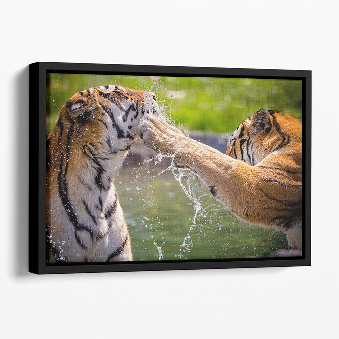 Two adult tigers at play in the water Floating Framed Canvas