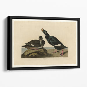 Velvet Duck by Audubon Floating Framed Canvas